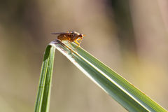 Kelp flies - Heleomyzidae Stock Photography