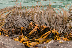 Kelp floating in sea. Giant kelp floating in sea Royalty Free Stock Image