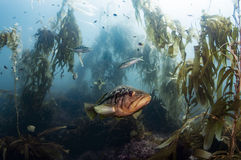 Kelp Forest Royalty Free Stock Photography