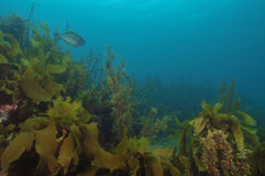 Kelp forest Stock Photos