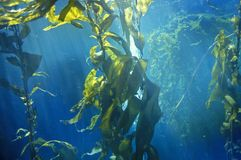 Kelp forest, Monterey Bay Aquarium, Monterey, CA Royalty Free Stock Photography