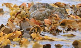 Kelp forest off the Tasmanian coast. Kelp or seaweed being washed around rocks off the Tasmanian coast. Kelp is used in food, fertilizer, soap and glass stock photo