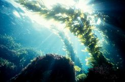 Kelp forest sunshine royalty free stock image