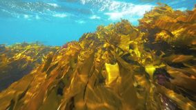 Kelp forest in Temperate southern ocean. Slow motion. stock video footage
