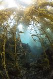 Kelp Forrest auf Möven-Insel lizenzfreies stockbild