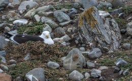 Kelp frajer, Magdalena wyspa, Chile Obrazy Royalty Free