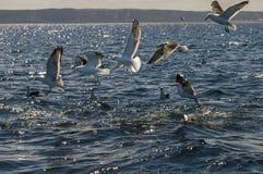 Kelp frajer, Patagonia, Argentyna obrazy royalty free
