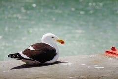 Kelp frajera odpoczywać Zdjęcie Royalty Free