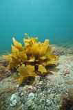 Kelp frond on bottom Royalty Free Stock Image