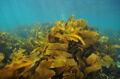 Kelp fronds moving with water Stock Photos