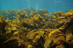 Kelp fronds moving with water royalty free stock photo