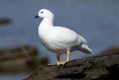 Kelp Goose Royalty Free Stock Photography