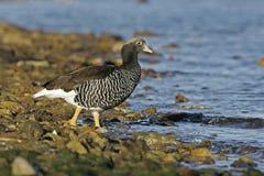 Kelp goose, Chloephaga hybrida Royalty Free Stock Photos