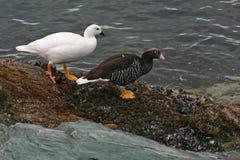 Kelp goose couple, Tierra del Fuego, Argentina Royalty Free Stock Image