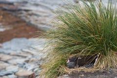 Kelp Goose - Falkland Islands Stock Photos