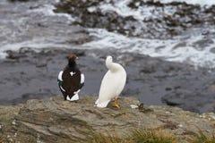 Kelp Goose - Falkland Islands Royalty Free Stock Photography