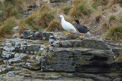 Kelp Goose Stock Photography