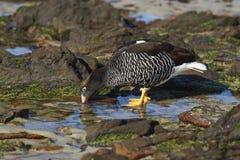 Kelp Goose (Chloephaga hybrida malvinarum) Royalty Free Stock Photos