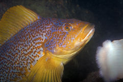 Kelp Greenling Fotografie Stock Libere da Diritti