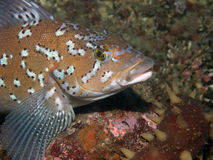 Kelp Greenling (hexagrammos decagrammus). Beautiful Greenling photographed 70 feet deep in the Pacific Ocean in Southern British Columbia Stock Images