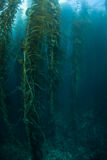 Kelp Growth. Giant kelp (Macrocystis pyrifera) grows in the temperate coastal waters off of California. Kelp provides important habitat for many species of fish Stock Photos