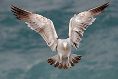 Kelp gull 07. A kelp gull (Larus dominicanus) in flight, South Africa Royalty Free Stock Images