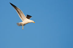 Kelp Gull Royalty Free Stock Photos