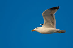 Kelp Gull Royalty Free Stock Image