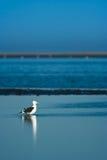 Kelp Gull Royalty Free Stock Photo