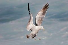Free Kelp Gull Stock Photos - 1398053