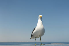 Kelp Gull. Standing on rooftop from boat stock photos