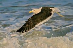 Kelp gull. A kelp gull (Larus dominicanus) in flight, South Africa royalty free stock photos