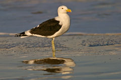 Kelp gull Stock Images