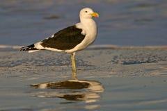 Kelp gull. (Larus dominicanus) on beach, South Africa stock images