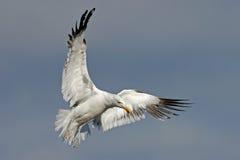 Kelp gull. A kelp gull (Larus dominicanus) in flight, South Africa stock photography