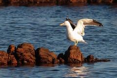 Kelp gull Stock Photography