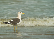 A Kelp Gull at the beach Stock Photo