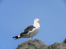 Kelp Gull 3 Royalty Free Stock Photos