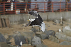 Kelp Gull at the Fish Market in Valparaiso, Chile Royalty Free Stock Images
