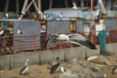 Kelp Gull at the Fish Market in Valparaiso, Chile Royalty Free Stock Photography