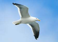 Kelp Gull in Flight. A Kelp Gull in flight across blue skies - Patagonia Stock Photography