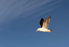 Kelp Gull in flight Royalty Free Stock Image