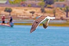 Kelp Gull flying over river stock photos