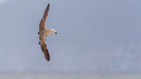 Kelp Gull III Royalty Free Stock Photo