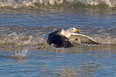 Kelp Gull after Take Off from Sea stock photography