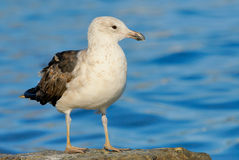 Kelp Gull juvenile Stock Photography