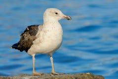 Kelp Gull juvenile. Kelp Gull (Larus dominicanus) juvenile Stock Photography