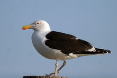 Kelp Gull, Larus dominicanus Royalty Free Stock Photography