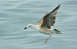 Kelp gull (Larus dominicanus), also known as the Dominican gull Royalty Free Stock Photography