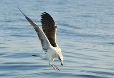 Kelp gull (Larus dominicanus), also known as the Dominican gull Royalty Free Stock Images